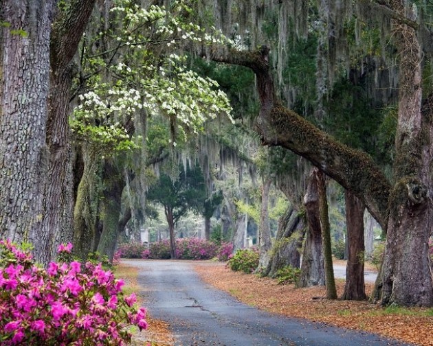Spanish moss-draped trees